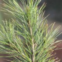 Fir Needle Siberian - Essential Oil
