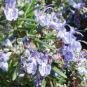 Rosemary Organic - Essential Oil